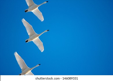 A flock of migrating geese in a clear blue sky, Holland