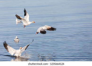 Flock of migrating snow geese at Vancouver BC Canada