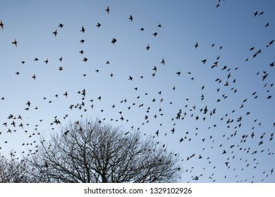 Flock of Migrating Starlings Flying out of a Tree