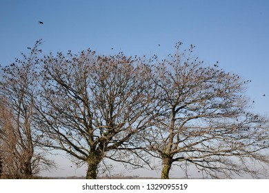 Flock of Migrating Starlings Settling in Trees