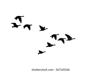 Flock of migration bean geese flying in V-formation