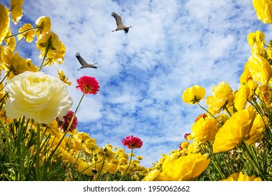 Flock of migratory birds flies in the blue sky. Bright multi-colored garden buttercups grow in a field. Spring in Israel. Wonderful trip for spring beauty.