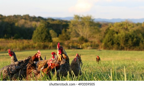 Flock Of Mixed Breed Chickens Including Hens And Roosters Foraging In Open Field On A Farm In The Mountains Of South West Virginia