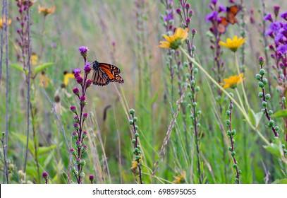 A flock of monarch butterflies in a flowery meadow