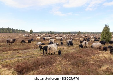 Flock of moorland sheep Heidschnucke with young lambs in Luneburg Heath near Undeloh and Wilsede, Germany