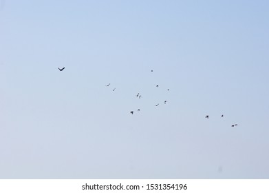 Flock of myna bird flyong flying on sky