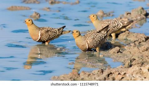 Flock of Namaqua Sandgrouse drinks water from a waterhole in the Kalahari desert