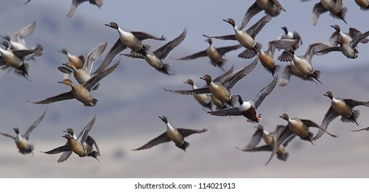 Flock of Northern Pintail Ducks with some Shovelers and Green-wing Teal mixed in, taking off on the flush; duck hunting; Klamath Falls Wildlife Refuge, on the California / Oregon border
