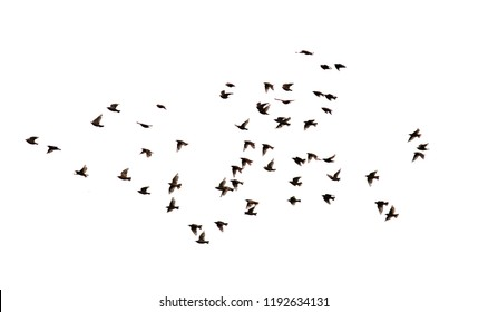 a flock of numerous black Starling birds flying in the distance on a white isolated background