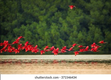 Flock and one isolated beautiful bright red birds Scarlet Ibis Eudocimus ruber returning to overnight ,flying over mirroring water surface. Red and green contrast. Caroni, Trinidad.