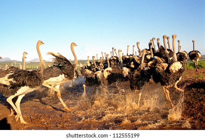Flock of Ostriches