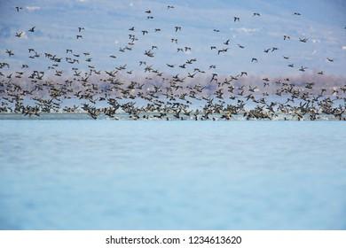 Pochard´s flock over the surface
