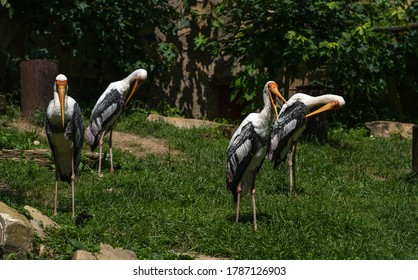 A flock of painted storks in the zoo. Southeast Asian painted storks.