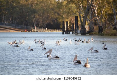 Flock of pelicans enjoying the morning sun along the Murray River in Australia at Mildura