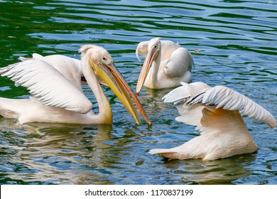 A flock of pelicans fishing in the lake