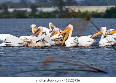 A flock of Pelicans on Lake Naivasha Africa