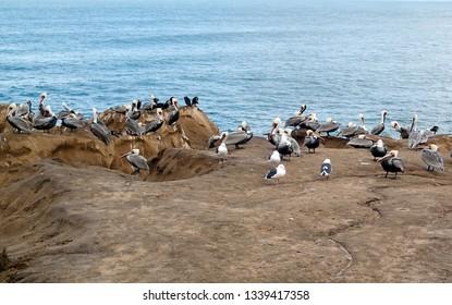 Flock of Pelicans on a rocky cliff on an Ocean Coastline