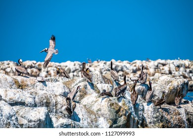 A flock of pelicans rest on a breakwater of boulders covered in white guano as a lone bird soars by.
