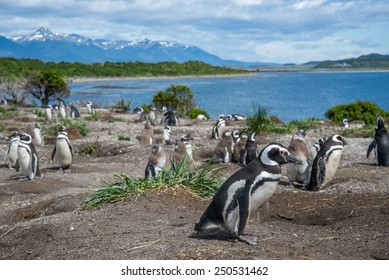 Flock of penguins, in Beagle Channel, Ushuaia