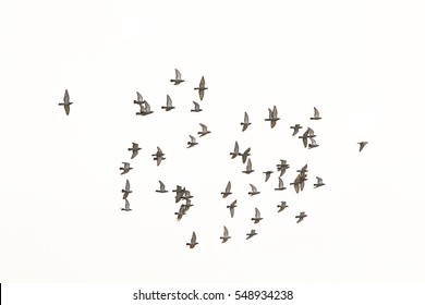 Flock of pigeons (columbidae)  in flight on white background