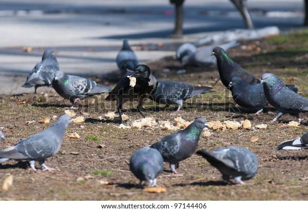 A flock of pigeons eating bread crumbs at city park in Belgrade, Serbia