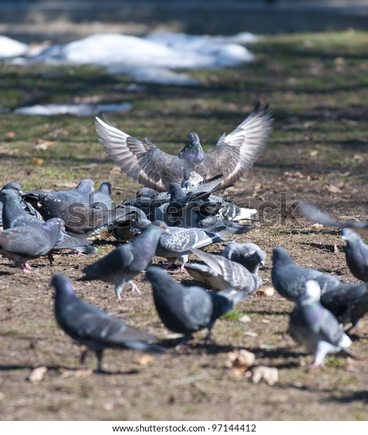 A flock of pigeons eating bread crumbs at city park in Belgrade, Serbia