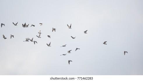 flock of pigeons in flight