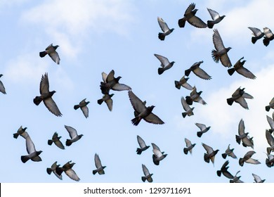 A flock of pigeons in flight with blue sky background