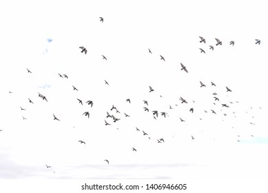 A flock of pigeons flying in the sky. Blue sky with clouds. Dynamic flying pigeons in the city. Birds in the sky