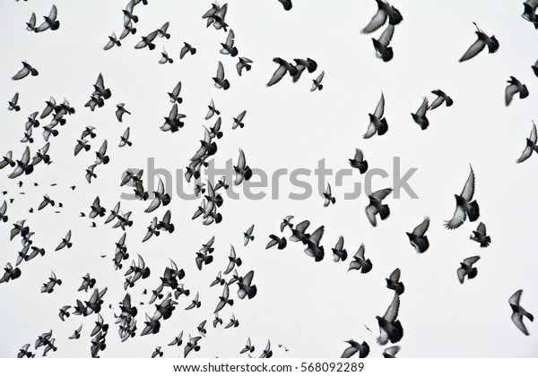 A flock of pigeons in the grey sky