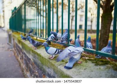 Flock of pigeons on a street of Paris, France