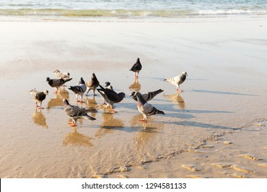 Flock of pigeons reflected on sea water walking on sandy beach