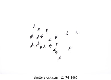 flock of pigeons in the sky