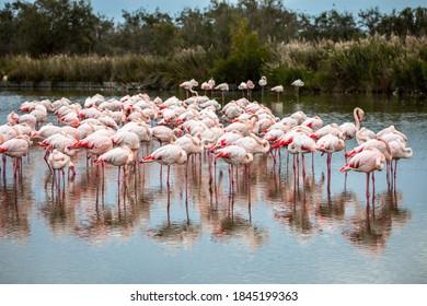 Flock of pink flamingos in Ornithological Park of Pont de Gau, France