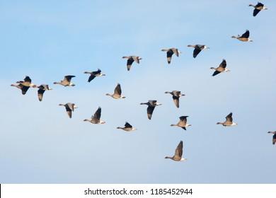 Flock of Pink-footed Geese in flight, Norfolk, England, UK.