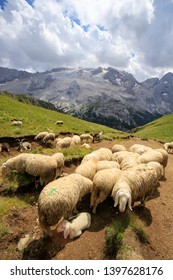 flock to Porta Bishop. In the background the Marmolada, Dolomites