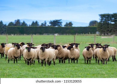 A flock of pregnant suffolk ewes, with black faces, in a grassy field in New Zealand