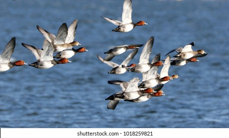 A flock redheaded ducks flying past