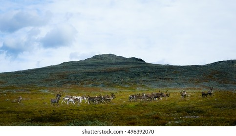Flock of Reindeer in the Mountains