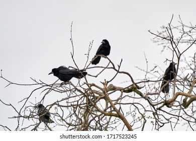 Flock of Rook birds sitting on the branches of a top tree near nest in spring time, Lithuania
