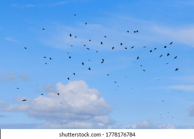 Flock of Rooks flying against a blue sky background