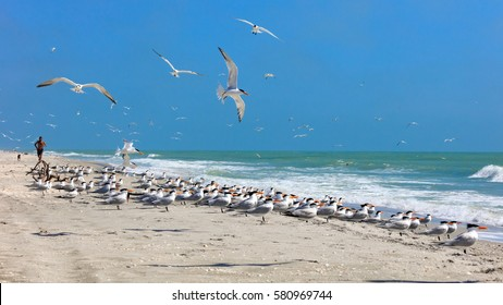 Flock of royal terns on a typical beach on Sanibel Island, Florida, USA