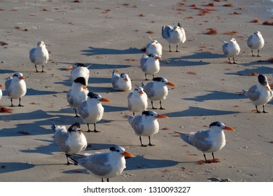 Flock of Royal Terns Standing on the Beach