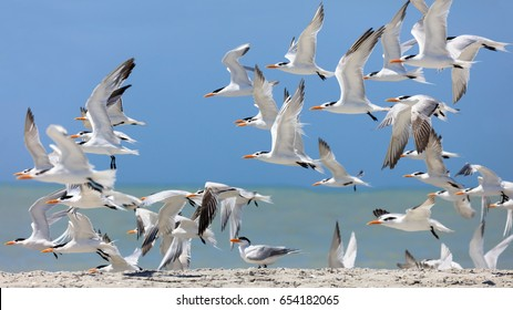 Flock of royal terns (Thalasseus maximus) on beach, Sanibel Island,  Florida, USA