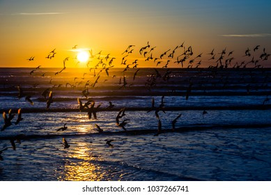 A flock of sanderling water birds dispersed before the setting sun in Westport, Washington State.