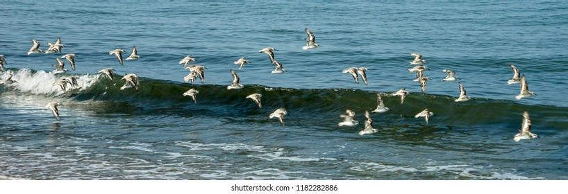 flock of sandpiper are flying over the mediterranean sea