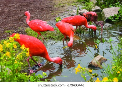 flock of scarlet ibis, Eudocimus ruber searching for food in pond