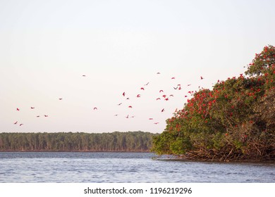 A flock of scarlets Ibis (Eudocimus ruber) landing on an island in Delta Paraiba, Brazil