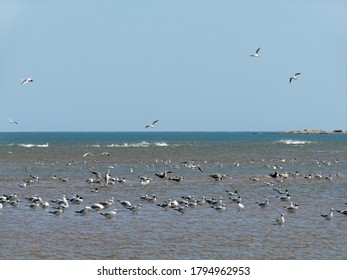 A flock of sea gulls, Bonaparte's gulls and swallow-tailed gulls, gathering in the sea with various postures, flying, wading and swimming, under clear blue sky in spring in Qinhuangdao China