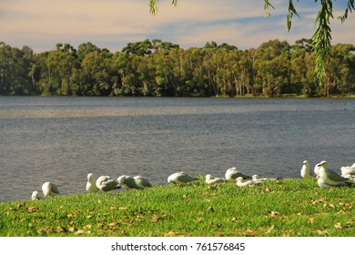 Flock of seagulls in Australia